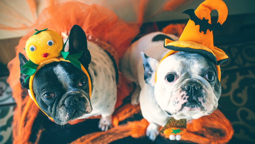 Halloween-decorations-costumes-for-dogs